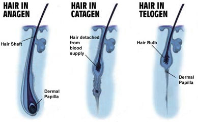 Life Cycle of Hair and its Phases | Shedding
